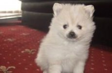 stocklot - Pomeranian Puppies